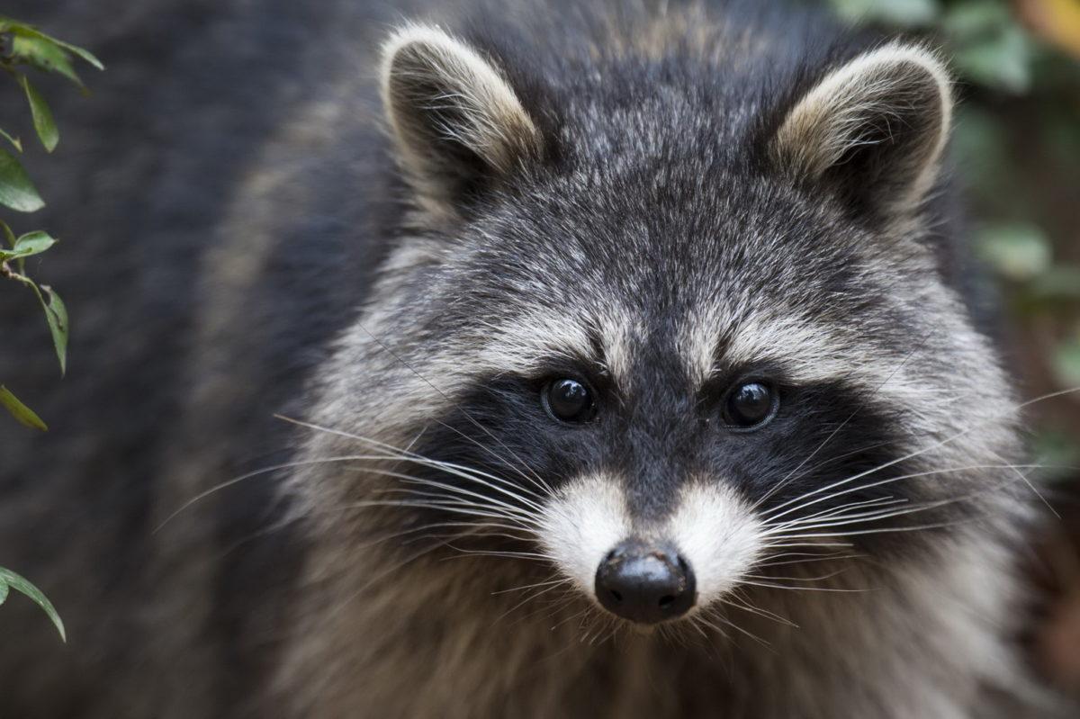 Waschbär darf ab 1. August wieder bejagt werden – Hausbesitzer und der Artenschutz können aufatmen