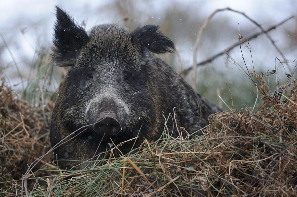 Bild: Wildschwein im Kessel