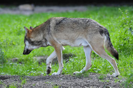 Fotonachweis eines Wolfs in Nordhessen