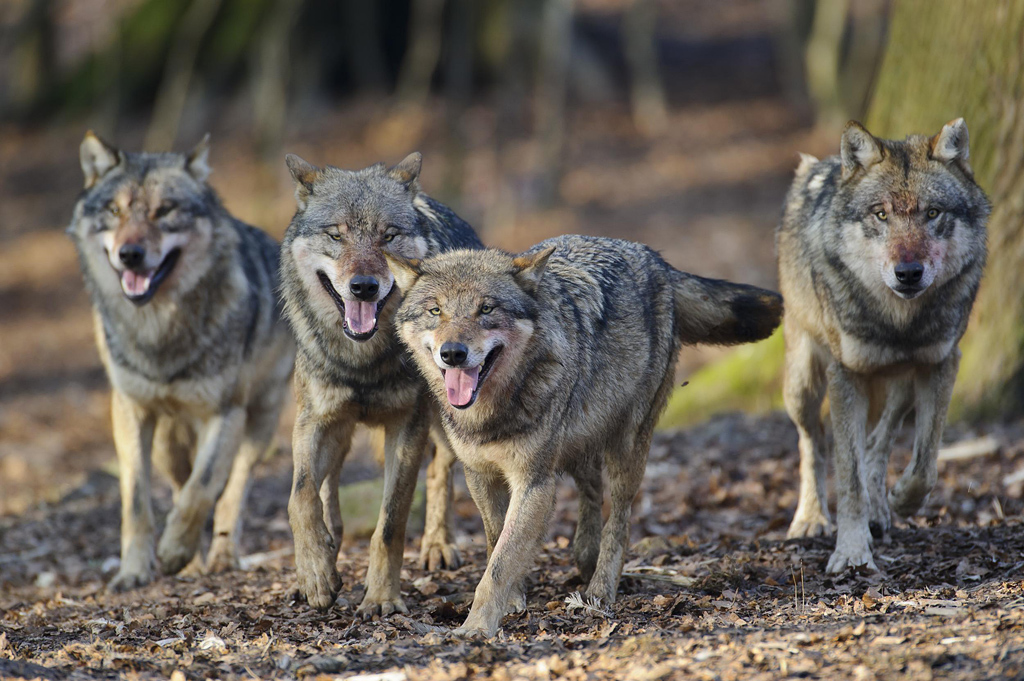 Bild Wölfe