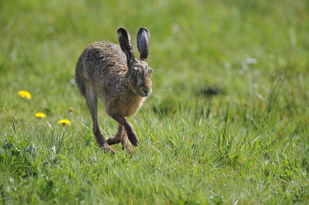 Corona-Virus: Nicht stattgefundene Hasentaxationen dürfen nicht zum Nachteil der Jäger ausgelegt werden
