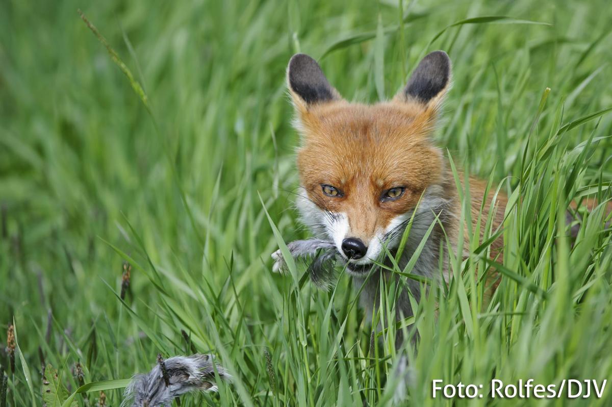 Fuchs, Du hast das Niederwild gestohlen!