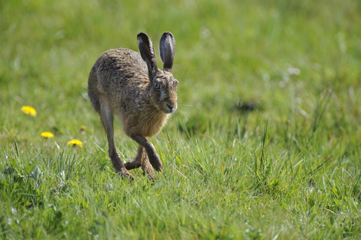 Hasenpest bei Limburg festgestellt – auch für Menschen gefährlich