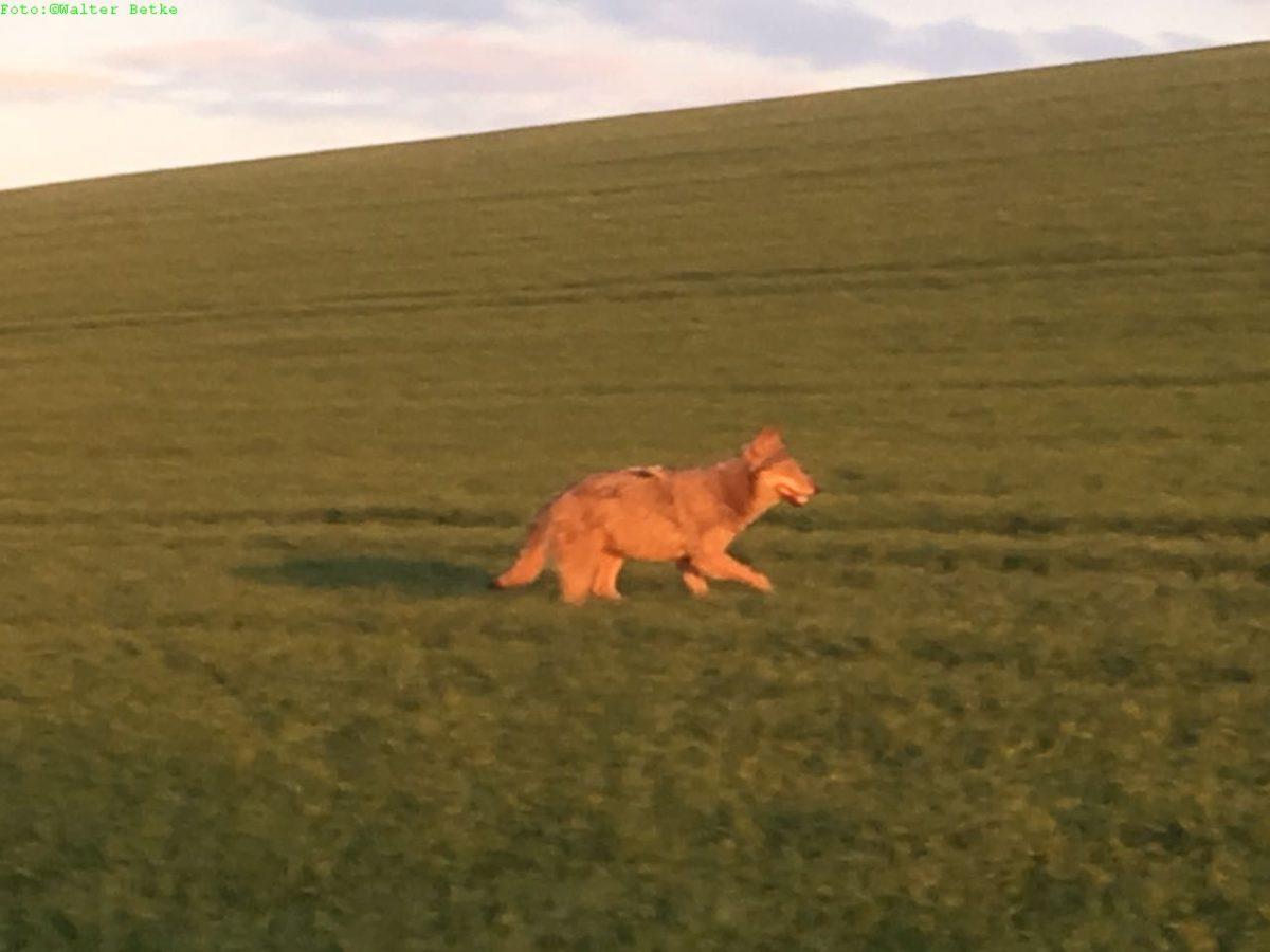 Wolf in Waldeck gesichtet