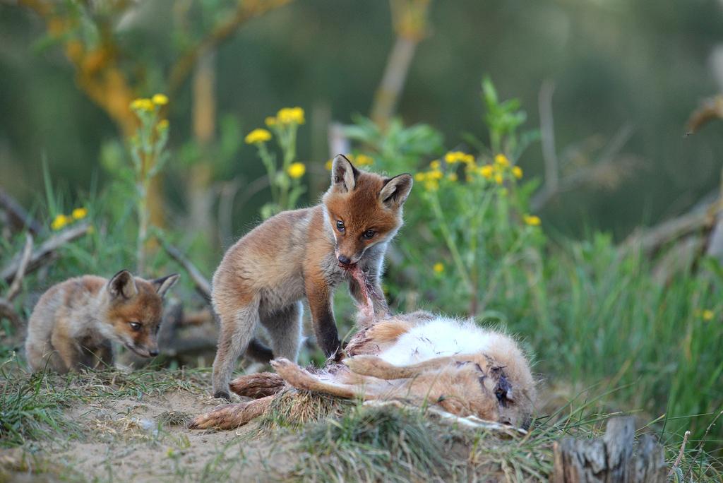 Jungfüchse und Jungmarderhunde sind ab morgen in Hessen wieder ganzjährig bejagbar