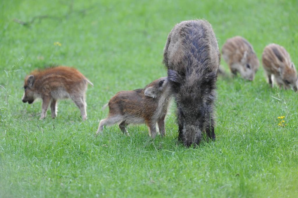 Tierschutzbund gegen massive Jagd auf Wildschweine