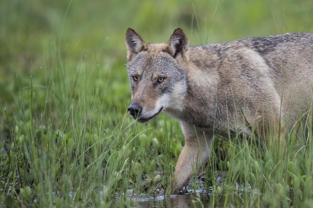 Wolfsähnliches Tier auf der A60 bei Mainz-Finthen gefunden