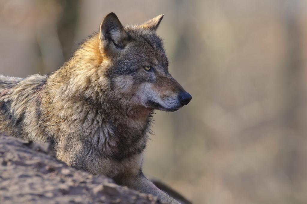 Wolfsattacke auf Jagdhund: Staatsanwalt erkennt Notstand nicht an