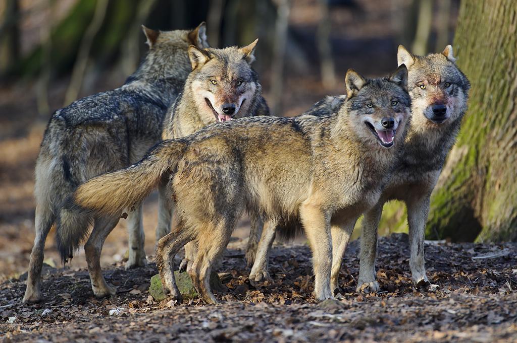 Rückkehr des Wolfes geht nur mit Akzeptanz und Regulierung