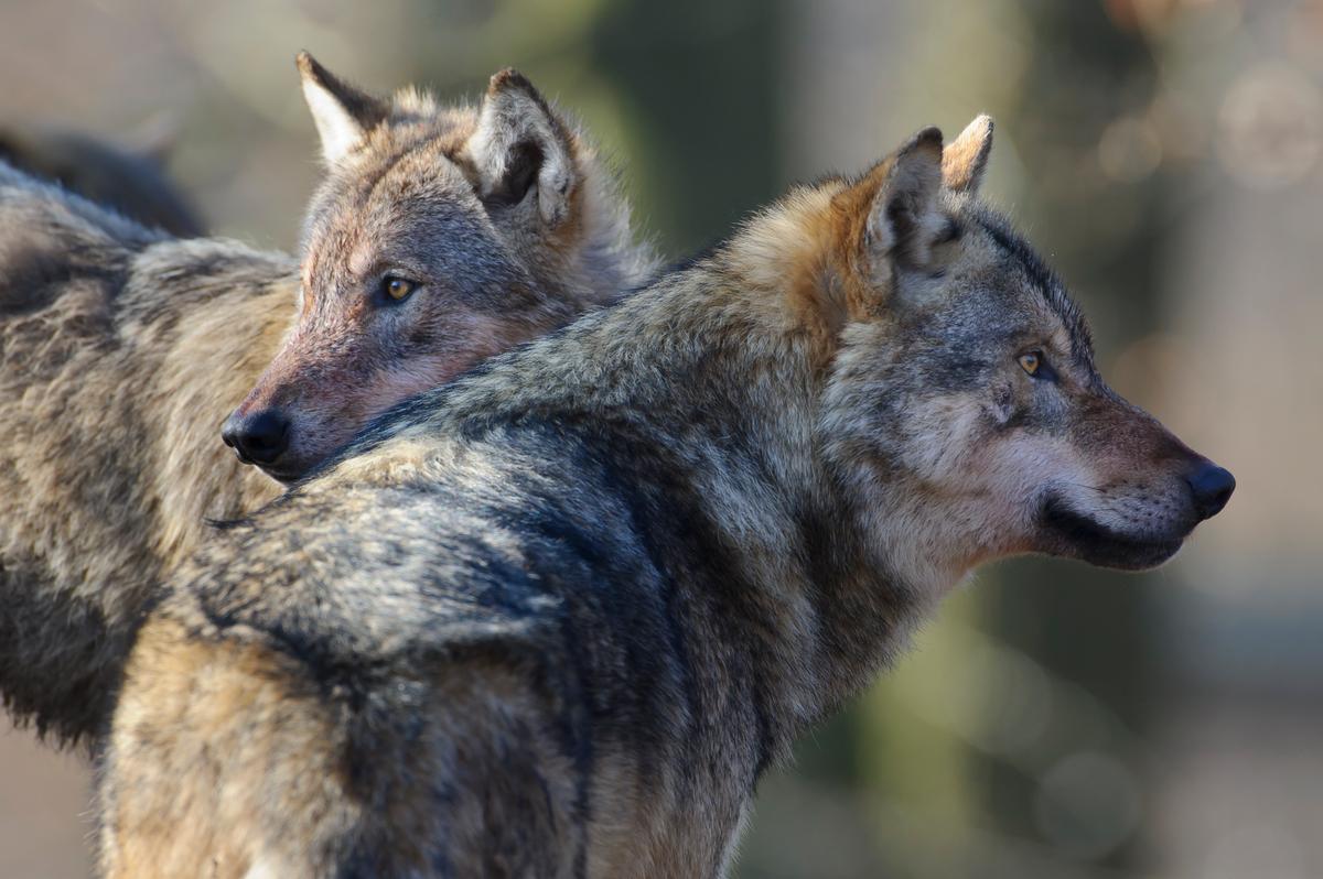 EuGH sieht Wolfsmanagement in Finnland kritisch
