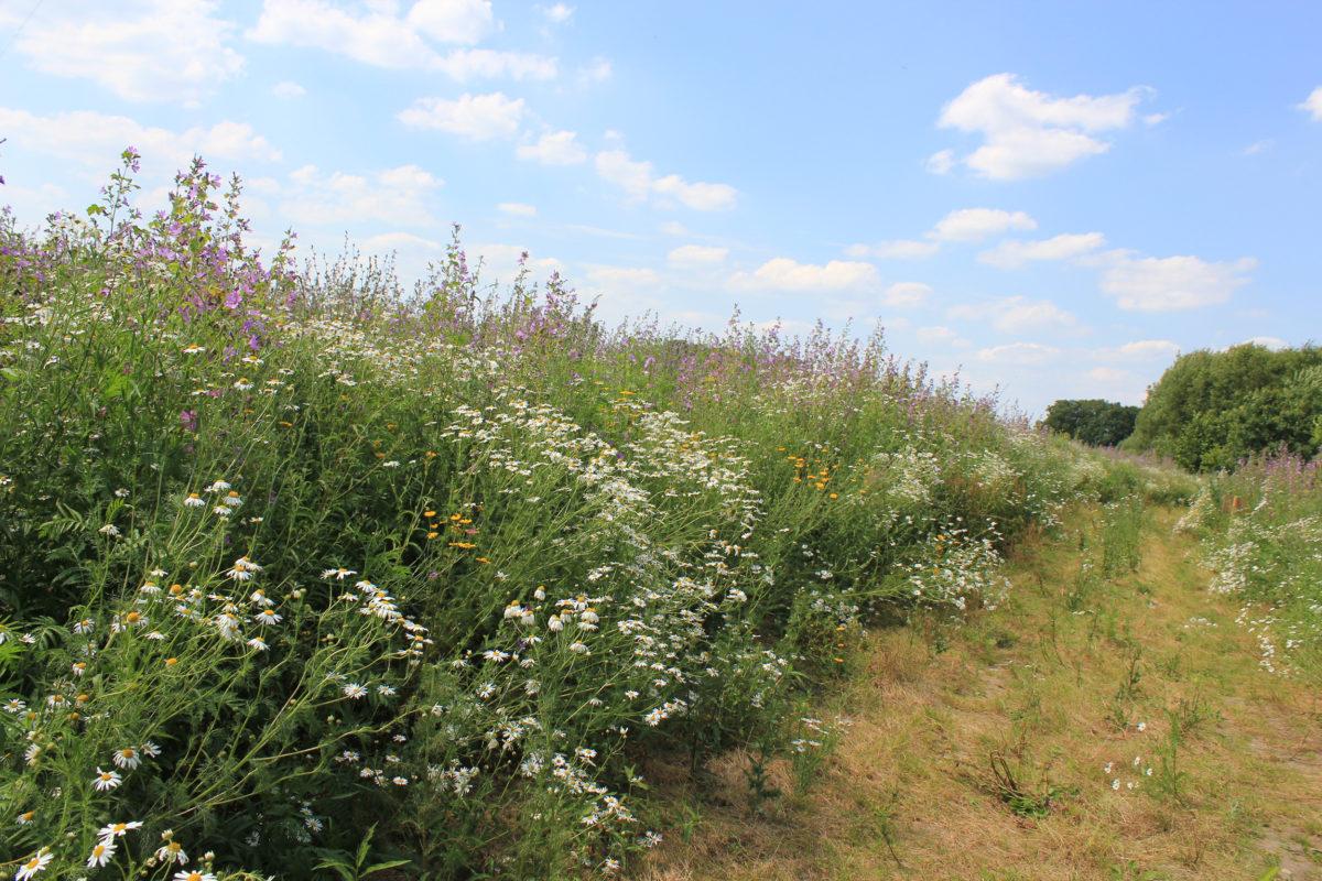 Projekt geht in die Praxis: Blühflächen statt Mais