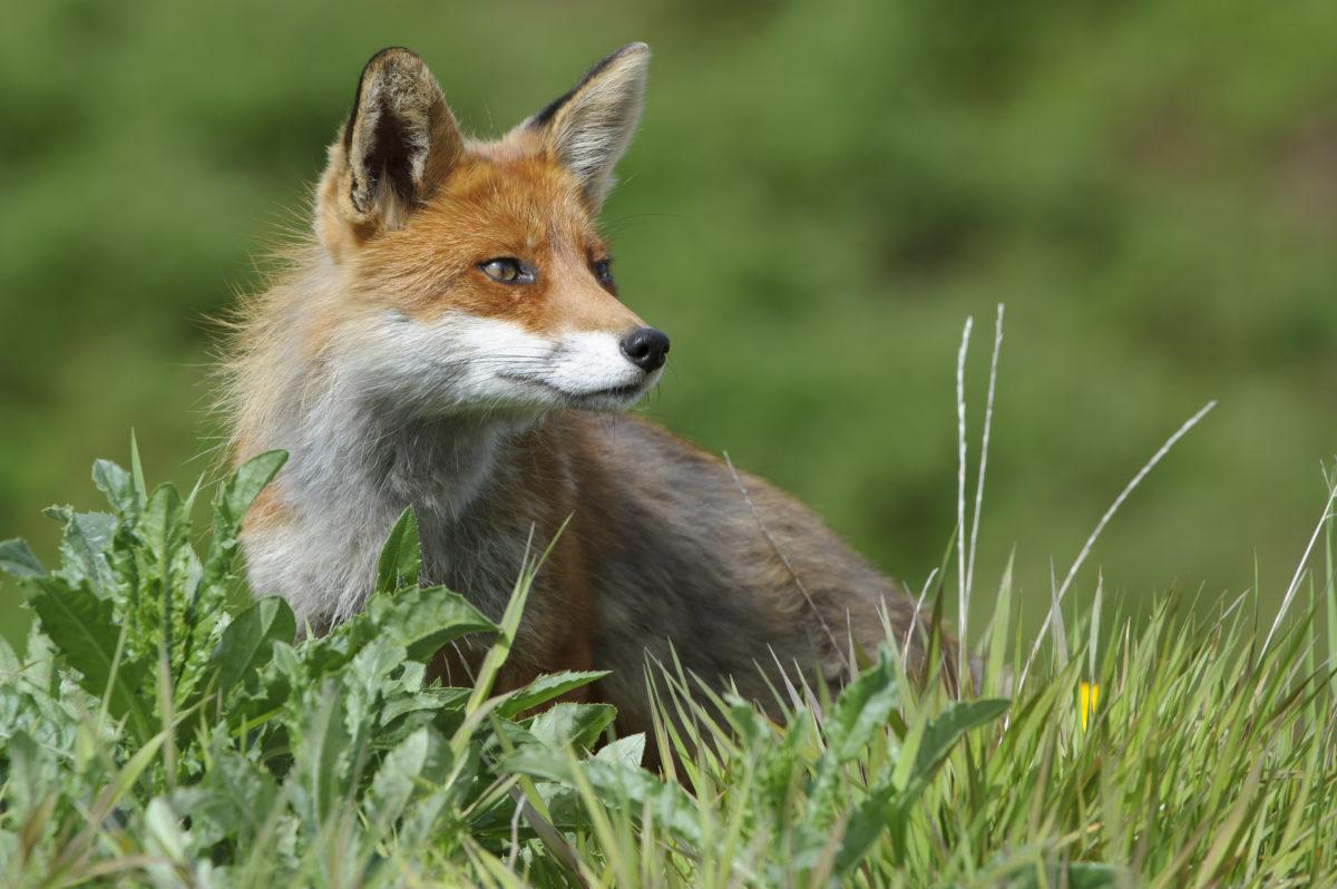 Die Jagd auf Raubsäuger wie Fuchs, Marder oder Waschbär ist in Deutschland ein probates Mittel, um bedrohten Arten zu helfen. Quelle: Rolfes/DJV