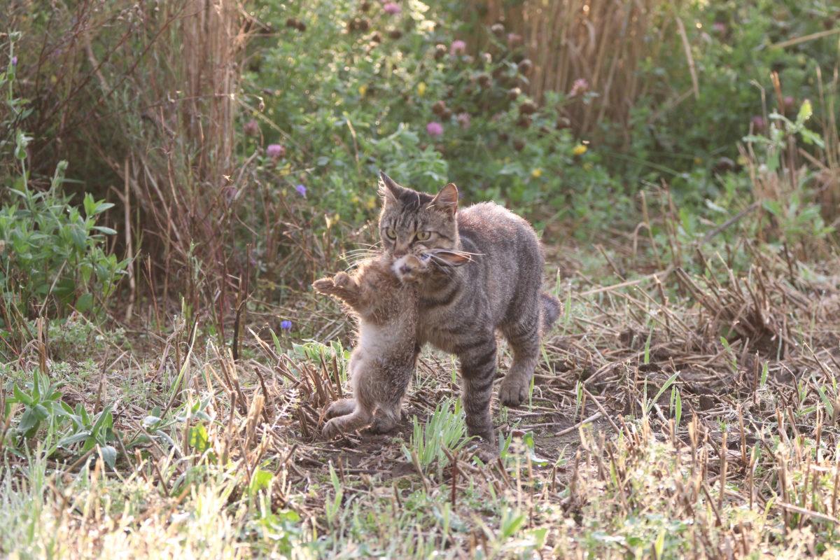 Verwilderte Hauskatzen sind Gefahr für die Artenvielfalt