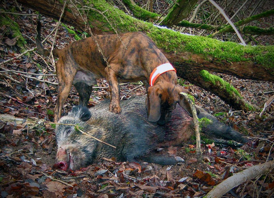 Werra-Meißner-Kreis: Erstmaliger Nachweis der Aujeszkyschen Krankheit bei einem Wildschwein