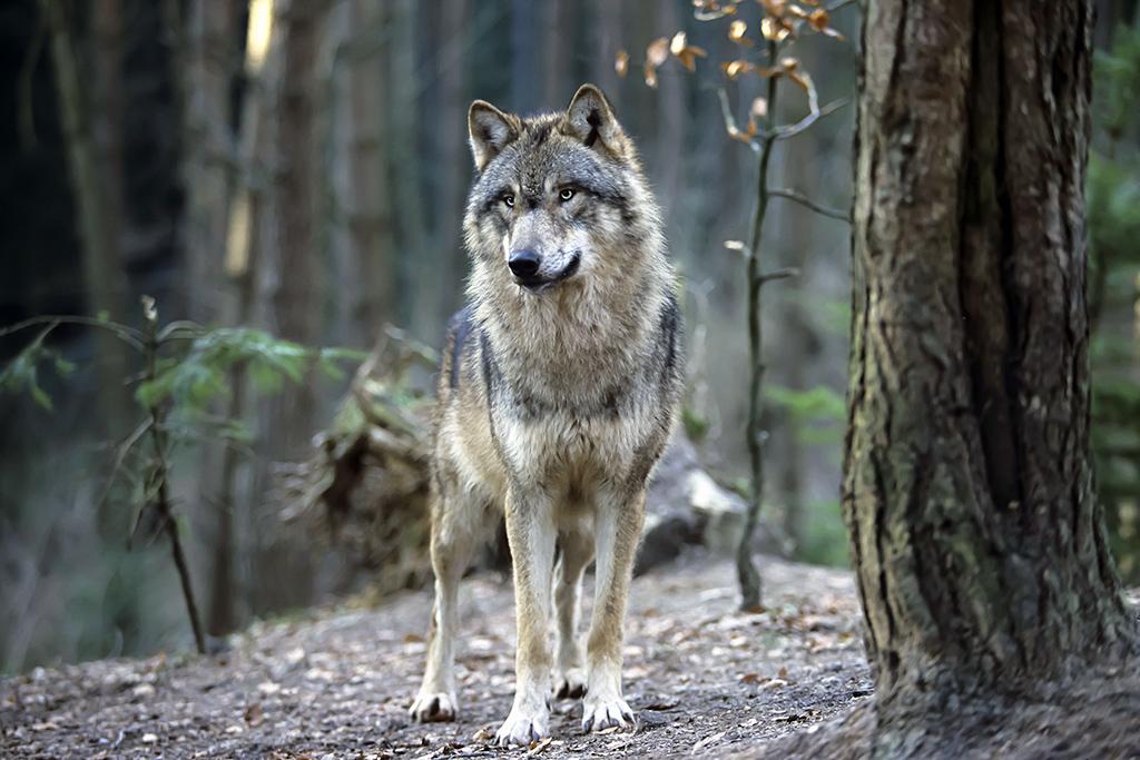 Tag des Wolfes