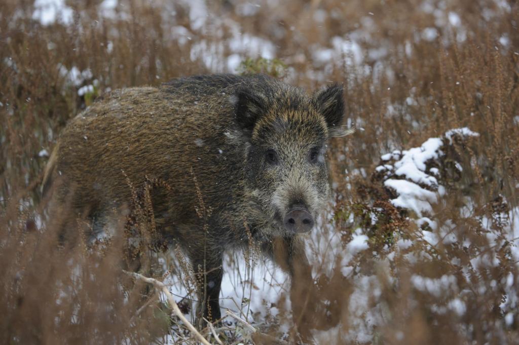 Wildbret vom Schwarzwild kann vermarktet und verzehrt werden – HMUKLV empfiehlt jedoch in seiner aktuellen PM auf den Verzehr von Wildschweinlebern zu verzichten