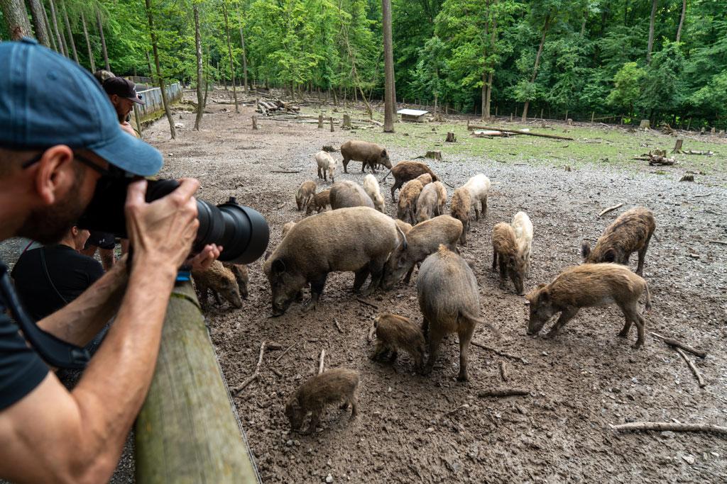Wildtierfotografie Schwarzwild im Wildpark Knüll